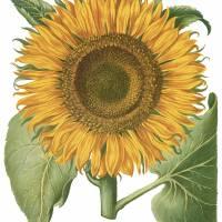 """Besler Botanical Plate 066: Sunflower"" by ArtLoversOnline"
