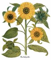 Besler Botanical Plate 067: Sunflower