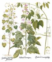Besler Botanical Plate 076: Mixed