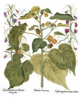 Besler Botanical Plate 080: Mixture