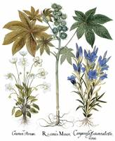 Besler Botanical Print 090: Mixture