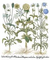 Besler Botanical Plate 094: Mixture