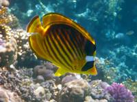 angel fish Egypt