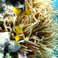 clown fish egypt - square photo