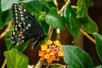 'Baird's' Old World Swallowtail Butterfly