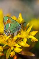 'Siva' Juniper Hairstreak Butterfly