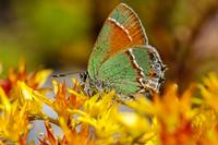 Siva Juniper Hairstreak