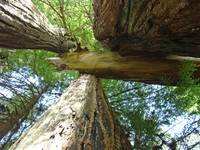 Redwood Trees art prints Redwoods Forest gifts