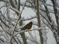 American Robin On A Frosty Winter Morning