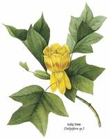 Tulip Tree (Tulipifera sp.) Botanical Art