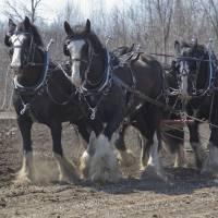 Draft Horses by Roger Dullinger