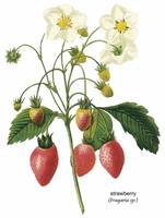 Strawberry (Fragaria sp.) Botanical Art