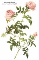 Semi-Double Field Rose Botanical Art