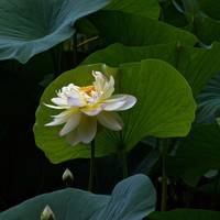 Lotus Pond Loveliness --square frame
