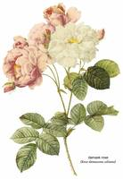 Damask Rose Botanical Art