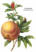 Pomegranate (Grenadier Punica) Botanical Art