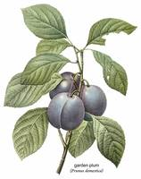 Garden Plum (Prunus Domestica) Botanical Art
