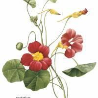 """Nasturtium (Tropaeolum Majus) Botanical Art"" by ArtLoversOnline"