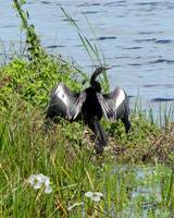 The Anhinga