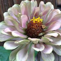 Green and Pink Zinnia
