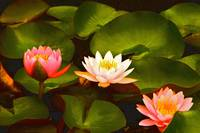 Three Lovely Gracious Waterlilies