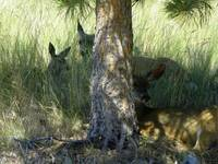 Deer Relaxing In The Shadow Of The Tree