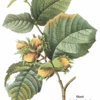 """Filbert (Corylus Maxima) Botanical Art"" by ArtLoversOnline"
