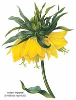 Crown Imperial (Fritillaria Imperialis) Botanical