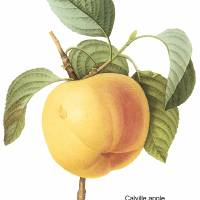 """Calville Apple (Malus sp) Botanical Art"" by ArtLoversOnline"