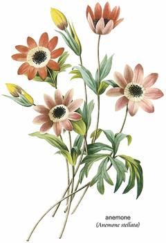 anemone anemone stellata botanical art by artloversonline