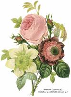 Anemone, Rose and Clematis Botanical Art