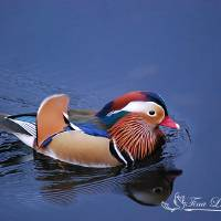 """Mandarin Duck 20131109_216a"" by Natureexploration"