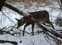 Buck sneaking under the tree limb