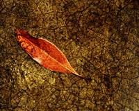DRY LEAF ON GOLDEN CRACKS, EDIT D