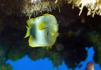 Endemic Angelfish Inverted on a Cave