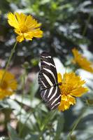Black & White Butterfly On A Yellow Flower 2
