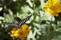 Black & White Butterfly On A Yellow Flower