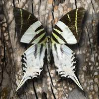 Graphium androcles Butterfly or Giant Swordtail