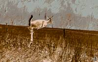 A white-tailed buck jumping the fence
