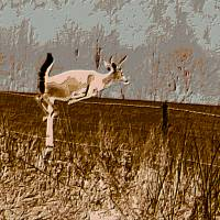 A white-tailed buck jumping the fence Art Prints & Posters by Teresa Walker