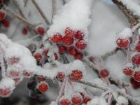 Crabapples in the Snow
