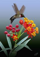 Hummingbird and Mexican Butterfly Weed