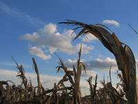 Corn husk in the field