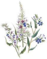 Echium and Anchusa Flowers by Jane Webb Loudon