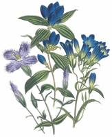 Gentiana Flowers by Jane Webb Loudon