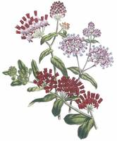 Asclepias Flowers by Jane Webb Loudon