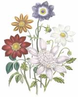 Dahlia Flowers by Jane Webb Loudon
