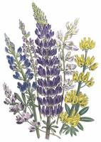 Lupinus Flowers by Jane Webb Loudon