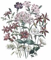 Silene Flowers by Jane Webb Loudon