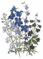 Delphinium Flowers by Jane Webb Loudon